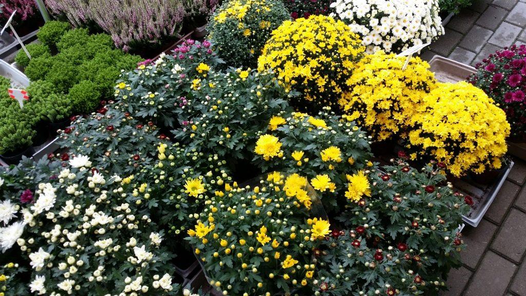 Chryzantemy Kwiaciarnia Krosno Odrzańskie
